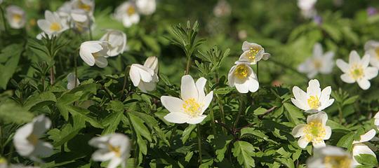 hvide anemoner