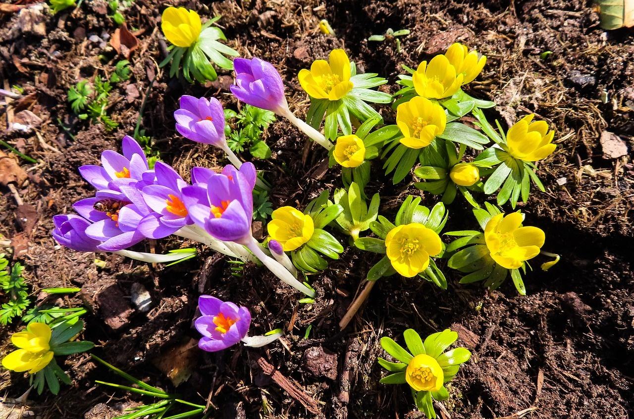 krokus forår